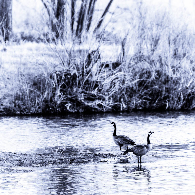 Goose Duet – Canadian Geese in Carson River, Riverview Park, Carson City, Nevada