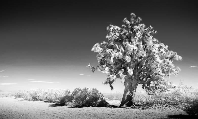 White Joshua – Mojave Desert, California