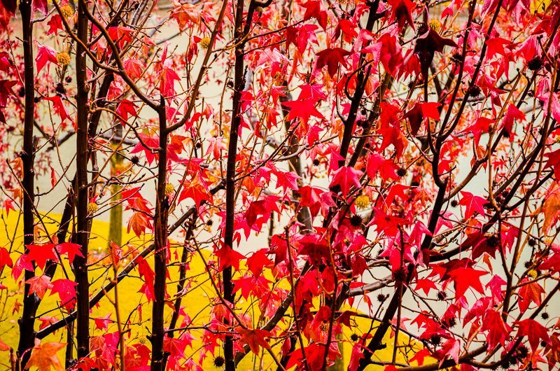 Crimson Leaves 1
