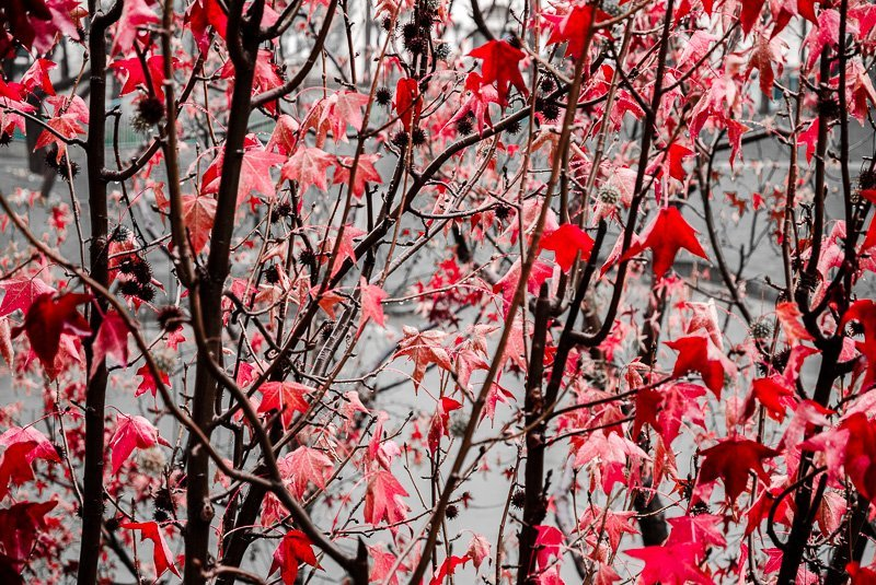Crimson Leaves 2