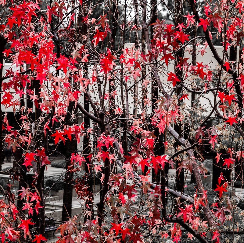 Crimson Leaves 3