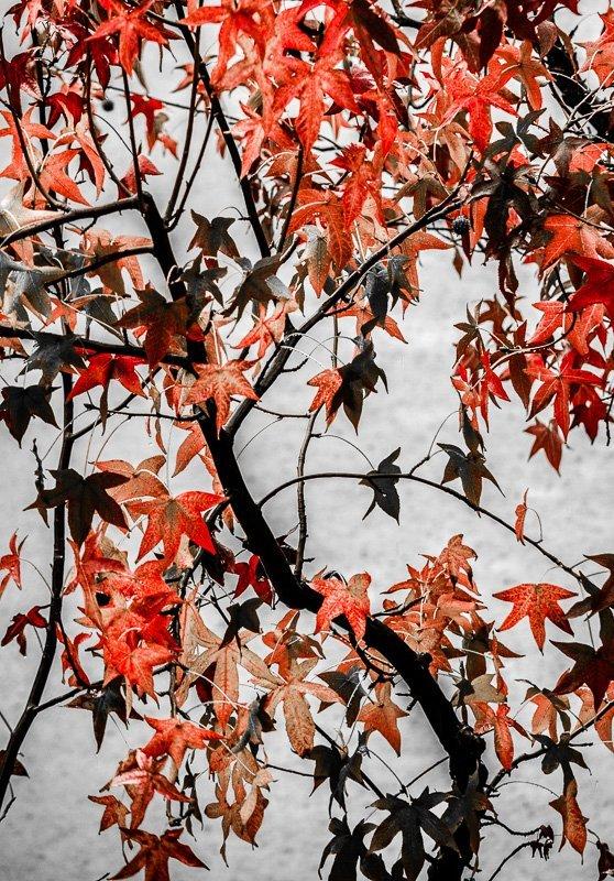 Fall Foliage 1