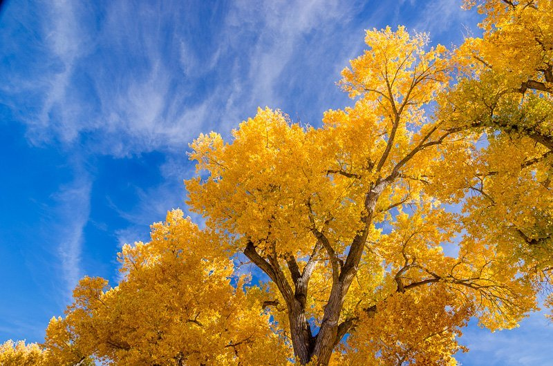 Golden Cottonwoods
