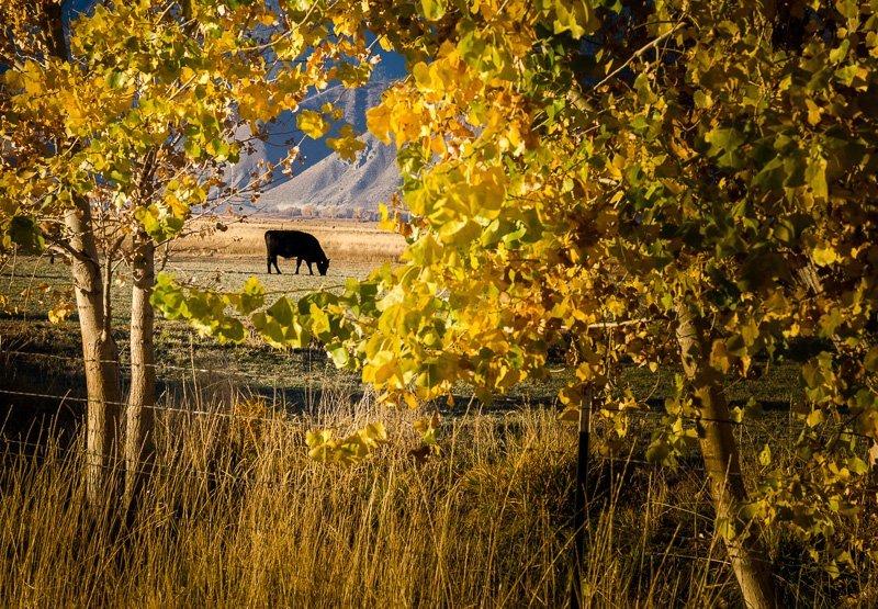 Solitary Bovine