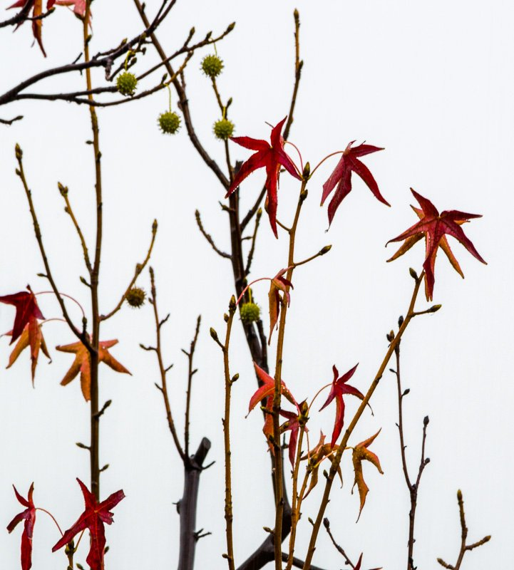 Sweetgum On White
