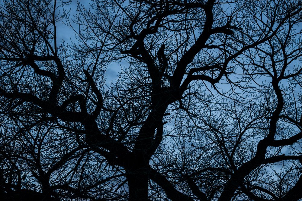 Cottonwood Silhouette 1