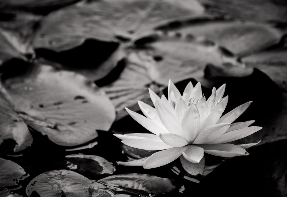 Water Lillies 5